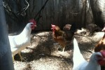 Elden Trails B&B Chickens