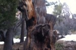 Flagstaff old growth